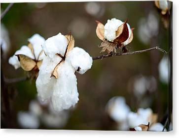 Canvas Print featuring the photograph Cotton Creations by Linda Mishler