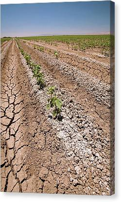 Cotton Crop In Salty Soil Canvas Print by Gary Banuelos/us Department Of Agriculture