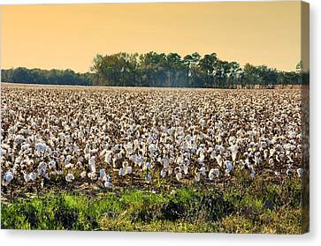 Cotton Fields Back Home Canvas Print