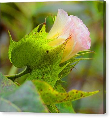 Cotton Flower Canvas Print by Julie Cameron