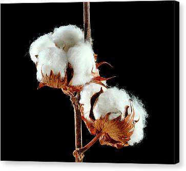 Cotton (gossypium Hirsutum) Bolls Canvas Print by Gilles Mermet