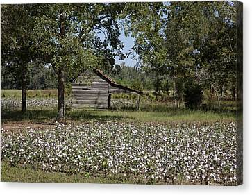 Wood Shed Canvas Print - Cotton In Rural Alabama by Mountain Dreams