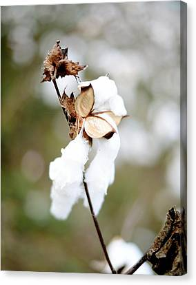 Canvas Print featuring the photograph Cotton Picking by Linda Mishler
