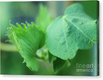 Cotton Plant Canvas Print by Charline Xia