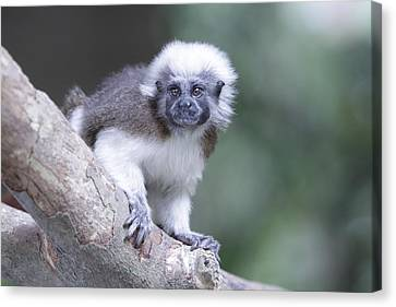 Canvas Print featuring the photograph Cotton Top Tamarin  by Shoal Hollingsworth