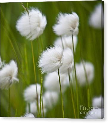 Cottonsedge Canvas Print by Heiko Koehrer-Wagner