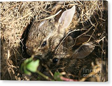 Cottontail Kits Canvas Print by Neal Eslinger