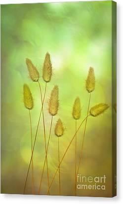 Cottontails Canvas Print by Jan Bickerton