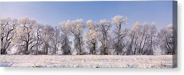 Cottonwood Trees Covered With Snow Canvas Print by Panoramic Images