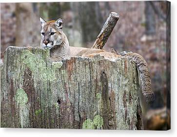 Cougar On A Stump Canvas Print by Chris Flees