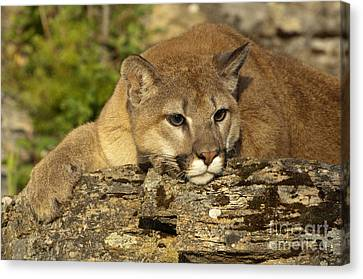 North American Wildlife Canvas Print - Cougar On Lichen Rock by Sandra Bronstein