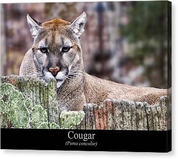Cougar Resting On A Tree Stump Canvas Print by Chris Flees