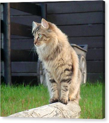 Canvas Print featuring the photograph Cougar The Barn Cat 2 by Barbie Batson