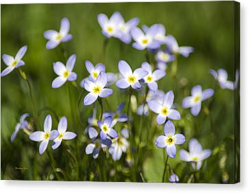 Country Bluet Flowers Canvas Print