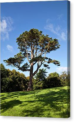 County Down Ireland Lebanon Cedar Canvas Print by Panoramic Images