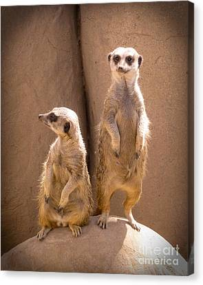 Couple Of Meerkats Canvas Print by Methune Hively