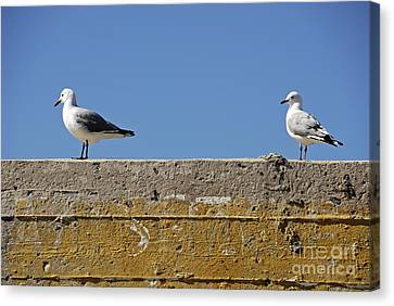 Couple Of Seagulls On A Wall Canvas Print by Sami Sarkis