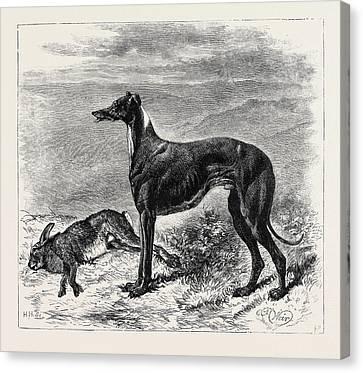 Greyhound Canvas Print - Coursing Master Mgrath by English School
