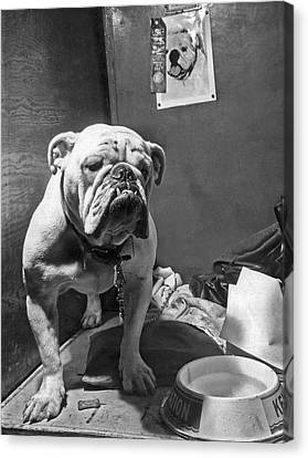 Cover Boy, The Winner Of The Bulldog Class Canvas Print by Underwood Archives