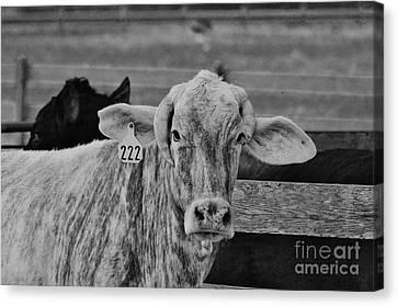 Cow 222 Canvas Print by Lynda Dawson-Youngclaus