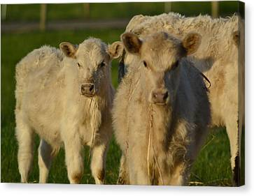 Canvas Print featuring the photograph Cow 2 by Naomi Burgess