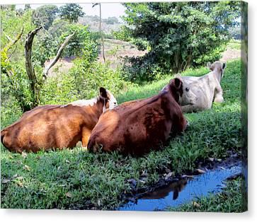 Canvas Print featuring the photograph Cow 6 by Dawn Eshelman