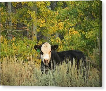 Cow #904 In Aspen Grove Canvas Print by Feva  Fotos