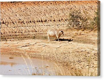 Dry Lake Canvas Print - Cow At A Nearly Empty Water Hole by Ashley Cooper