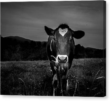 Cow Canvas Print by Bob Orsillo