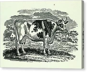 Pastureland Canvas Print - Cow by British Library