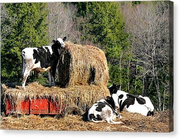 Cow Country Buffet Canvas Print by Christina Rollo