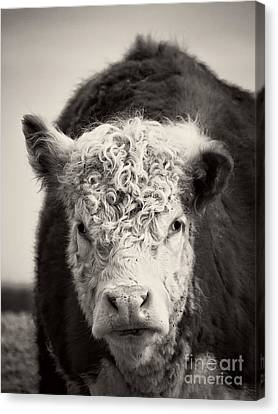 Hamburger Canvas Print - Cow by Edward Fielding