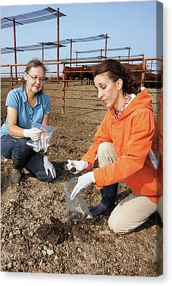 Cow Faeces Research Canvas Print by Peggy Greb/us Department Of Agriculture