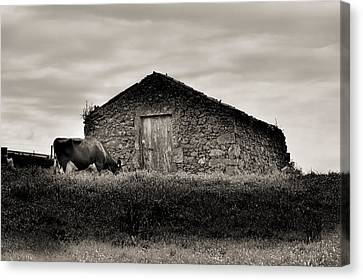 Cow Grazes At Rustic Barn  Canvas Print