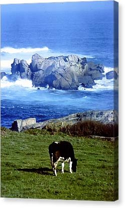 Cow Grazing By The Ocean Canvas Print