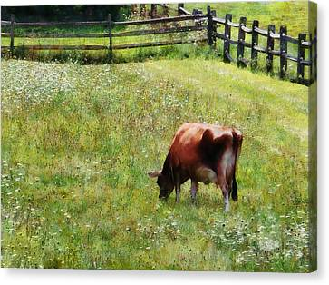 Cow Grazing In Pasture Canvas Print