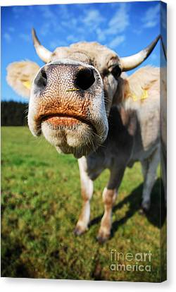Hannes Cmarits Canvas Print - cow by Hannes Cmarits