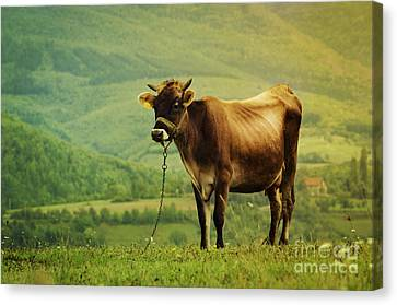 Cow In The Field Canvas Print