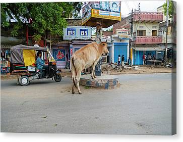 Cow In The Middle Of The Street Canvas Print by Ali Kabas
