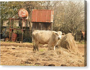 Cow In The Pen Canvas Print