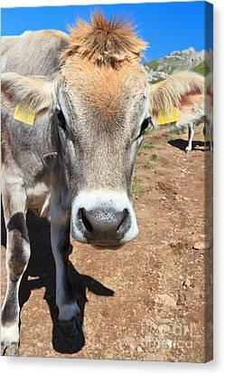 Cow On Alpine Pasture Canvas Print by Antonio Scarpi