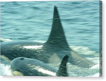 Cow Orca And Her Calf Canvas Print by Jeff Swan