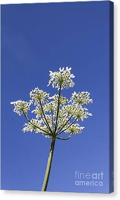 Cow Parsley Canvas Print by Brian Roscorla