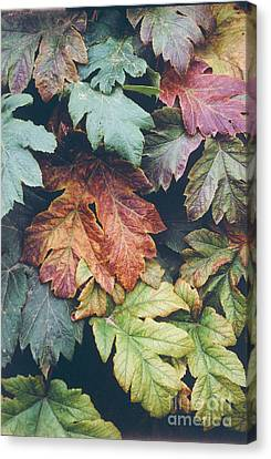 Cow Parsnip Leaves In The Fall Canvas Print by Bruce M Herman