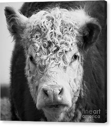 Hamburger Canvas Print - Cow Square by Edward Fielding