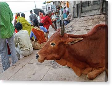 Cow, Varanasi, India Canvas Print by Ali Kabas