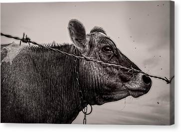 Canvas Print featuring the photograph Cow With Flies by Bob Orsillo