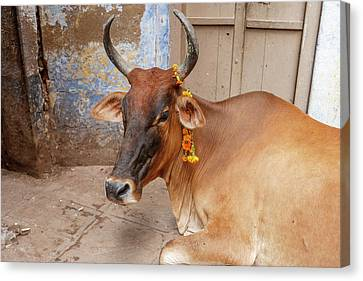 Cow With Flowers, Varanasi, India Canvas Print by Ali Kabas