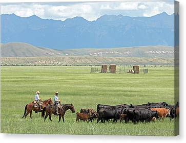 Cowboys Herding On A Cattle Ranch Canvas Print by Jim West