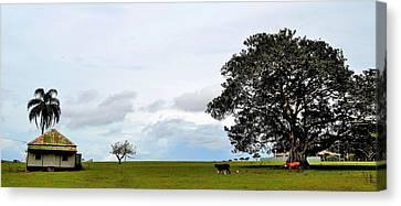 Cows And Shack - Australia Canvas Print
